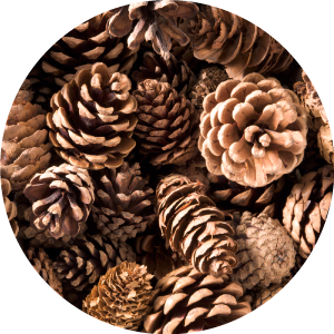A picture of pinecones representing the A-pinene terpene.