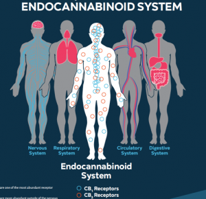 An image of the different systems that have endocannabinoid receptors.