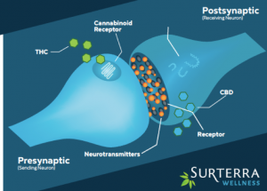 Image of cannabinoids working with synapses.