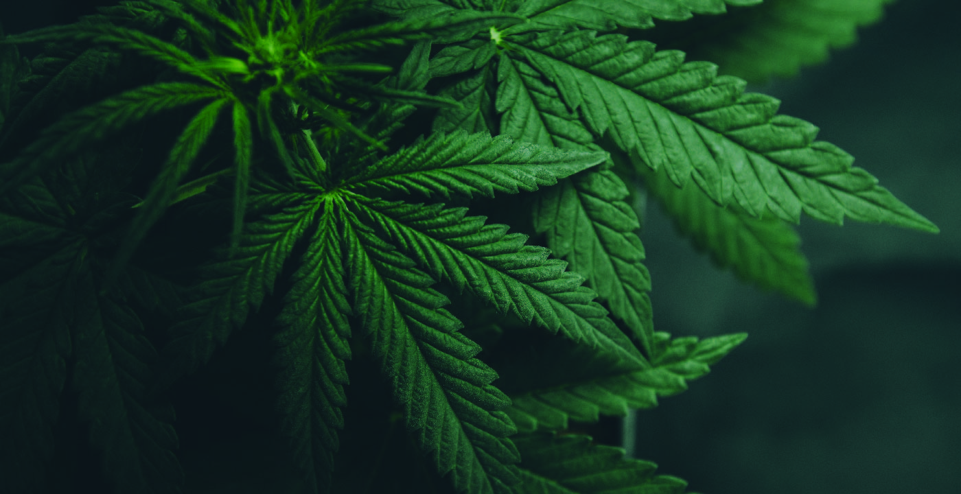 Image of cannabis leaves.