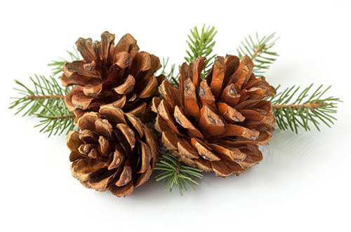 Pinene is found in pine berries